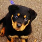 cute-rottweiler-baby-dogs-hd-wallpapers