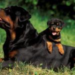 foto-5-texto-rottweiler1