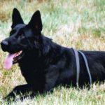 guard-black-dog