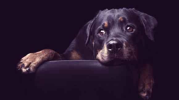 rottweiler-guard-dog-large