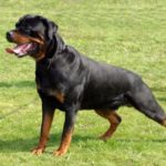 rottweiler-guard-dog-training