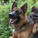 german-shepherd-guard-dog