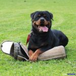 rottweiler_dog_supplement2